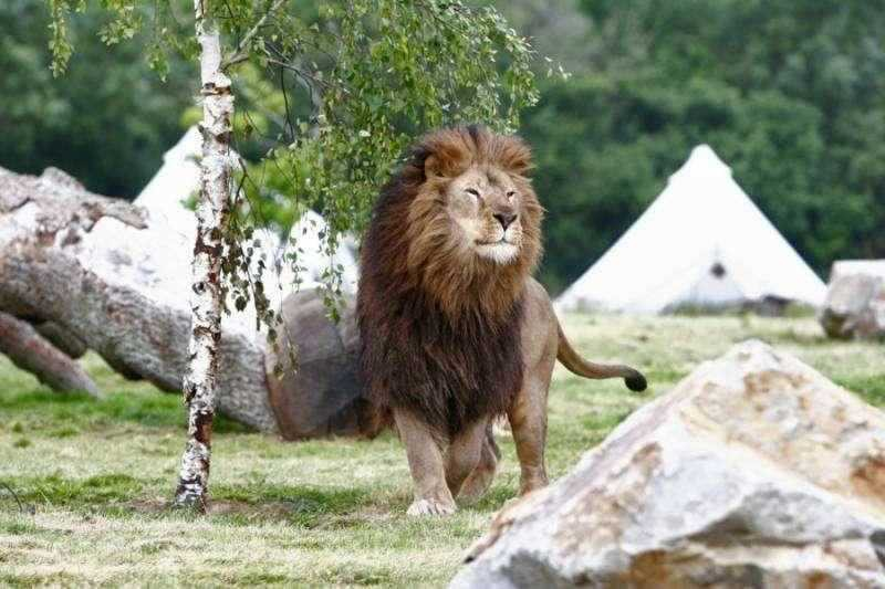 Tente en coton sibley et lion